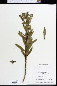 Image of Euphorbia rosescens