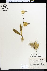 Image of Encyclia boothiana