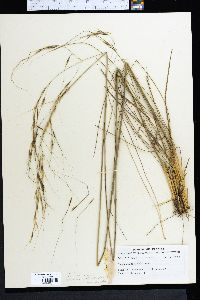 Image of Stipa avenacioides