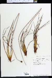 Image of Xyris elliottii