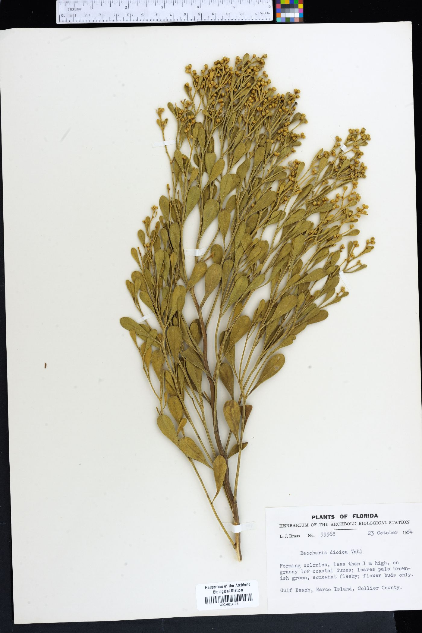 Baccharis dioica image