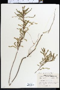Image of Phyllanthus abnormis