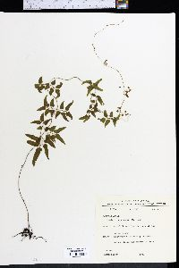 Image of Selaginella microphylla