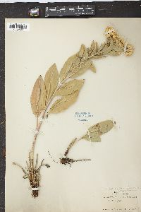 Image of Solidago canescens