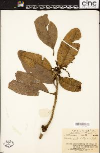 Image of Buchanania latifolia