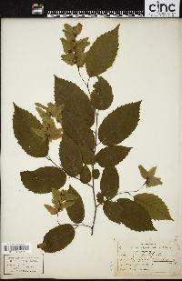 Image of Carpinus americana