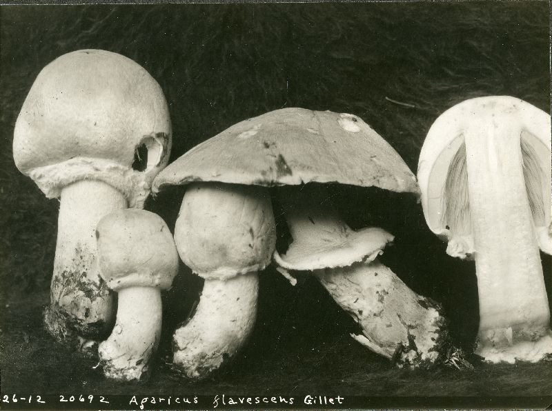 Agaricus flavescens image
