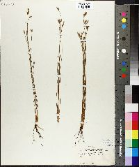 Image of Fimbristylis bahiensis
