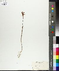 Image of Arethusa bulbosa