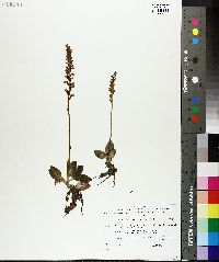 Goodyera repens image