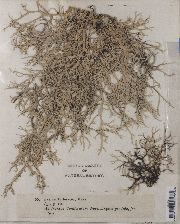 Image of Evernia furfuracea