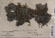 Leptogium cyanescens image