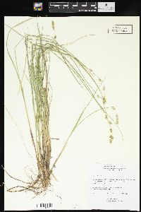 Carex canescens image