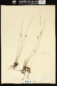 Juncus filiformis image