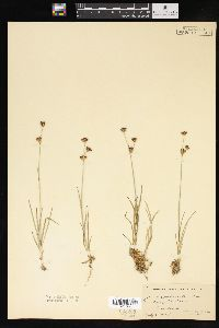 Image of Juncus truncatus