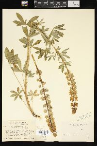 Image of Lupinus ligulatus