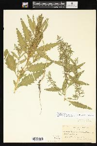 Dysphania anthelmintica image