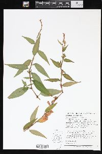 Image of Polygonum odoratum