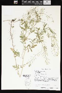 Rorippa palustris var. palustris image