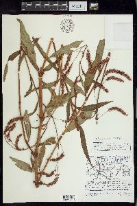 Image of Persicaria careyi