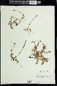 Veronica serpyllifolia image