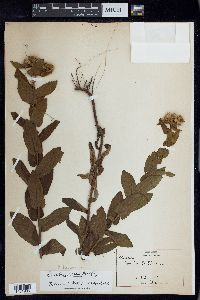 Image of Pluchea baccharis