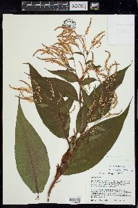 Image of Persicaria wallichii