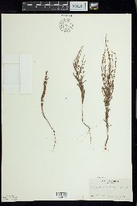 Polygonum tenue image