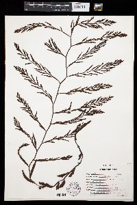 Stephanocystis dioica image