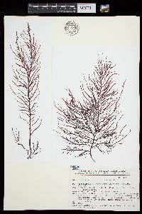 Image of Helminthocladia calvadosii