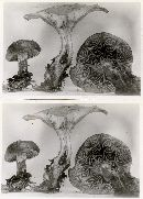 Clitocybe gilvaoides image