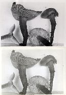 Collybia subsulcatipes image