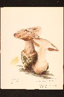 Image of Cortinarius regalis