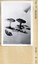 Agaricus solidipes image