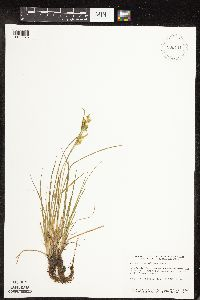 Carex cryptolepis image