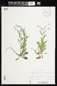 Image of Myosotis sylvatica
