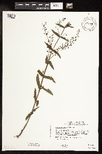 Image of Veronica catenata