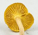 Cantharellus appalachiensis image