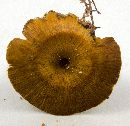 Image of Polyporus bulbipes