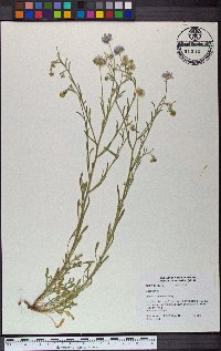 Image of Erigeron lemmonii