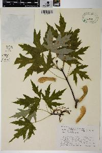 Acer saccharinum image