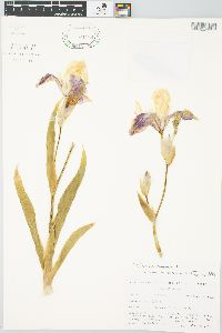 Iris germanica image