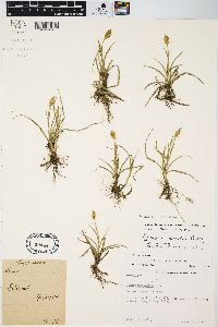 Carex meadii image