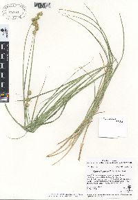 Image of Carex shinnersii