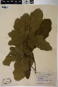 Quercus laceyi image