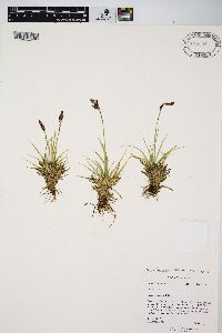 Image of Carex fuliginosa