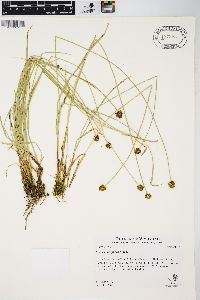 Carex neurophora image
