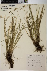 Image of Carex longirostrata