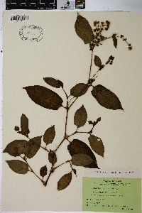 Image of Polygonum chinense