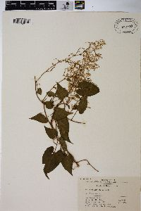 Image of Polygonum multiflorum